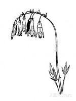 Muchagentia bocabagia